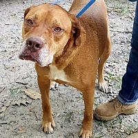 Adopt A Pet :: Duchess - Little Rock, AR