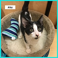 Adopt A Pet :: Ritz - Miami, FL