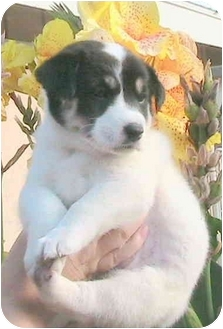 Australian Shepherd Mix Puppy for adoption in Poway, California - Leah