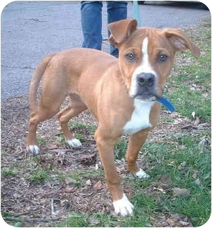 Pit Bull Terrier Mix Puppy for adoption in Honesdale, Pennsylvania - Tank