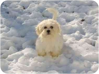 Lhasa Apso Puppy for adoption in Hilliard, Ohio - Packer