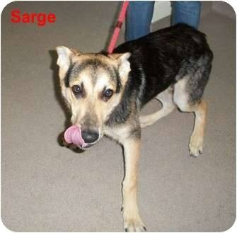 German Shepherd Dog Puppy for adoption in Slidell, Louisiana - Sarge