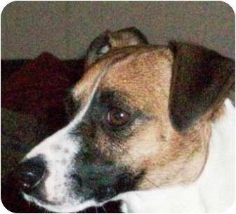 Jack Russell Terrier Dog for adoption in Dallas/Ft. Worth, Texas - Scout in Dallas