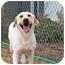 Photo 1 - Labrador Retriever Dog for adoption in Patterson, California - RAY