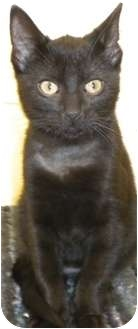 Domestic Shorthair Cat for adoption in Charles City, Iowa - Bugs