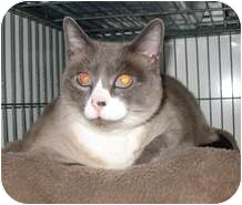 Siamese Cat for adoption in Shelton, Washington - Fiona