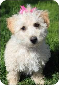 Poodle (Miniature)/Cocker Spaniel Mix Puppy for adoption in Yuba City, California - Ellie
