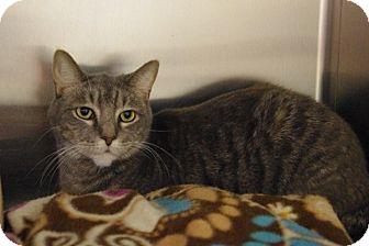 Domestic Shorthair Cat for adoption in Elyria, Ohio - Dudley