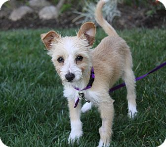 Terrier (Unknown Type, Small) Mix Puppy for adoption in Newport Beach, California - DIAMOND