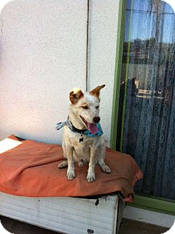 Cattle Dog Mix Dog for adoption in San Dimas, California - Lucky