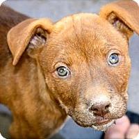 Adopt A Pet :: Charlette - Cypress, CA