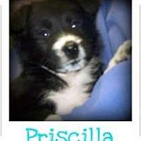 Adopt A Pet :: PRISCILLA - Southport, NC