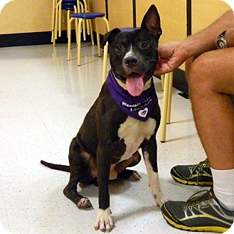 American Staffordshire Terrier Mix Dog for adoption in McCormick, South Carolina - Roger