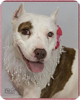 Pit Bull Terrier Mix Dog for adoption in San Diego, California - Blanca