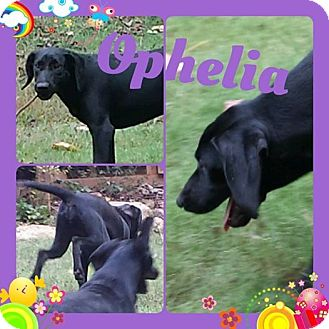 Labrador Retriever/Treeing Walker Coonhound Mix Puppy for adoption in Newnan, Georgia - Ophelia