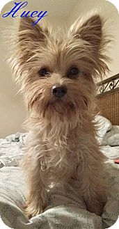 Westie, West Highland White Terrier/Yorkie, Yorkshire Terrier Mix Dog for adoption in Metairie, Louisiana - Huey