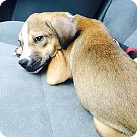 Adopt A Pet :: Lucy Liu - Mount Juliet, TN