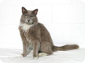 Domestic Mediumhair Cat for adoption in Lufkin, Texas - Bleu