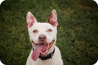 Terrier (Unknown Type, Medium)/American Staffordshire Terrier Mix Dog for adoption in Lake Dallas, Texas - Daisy