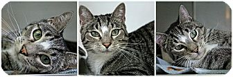 Domestic Shorthair Cat for adoption in Forked River, New Jersey - Eli