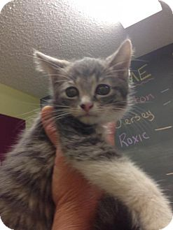 Domestic Shorthair Kitten for adoption in Newburgh, Indiana - Chesshire