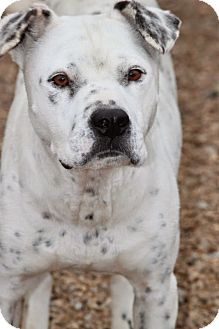 American Bulldog/Dalmatian Mix Dog for adoption in Wynne, Arkansas - Edison