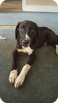 English Springer Spaniel/Labrador Retriever Mix Dog for adoption in New Oxford, Pennsylvania - Trimphe