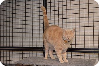 Domestic Shorthair Cat for adoption in Toast, North Carolina - Tom