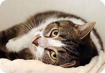 Domestic Shorthair Cat for adoption in Royal Oak, Michigan - TIBERIUS