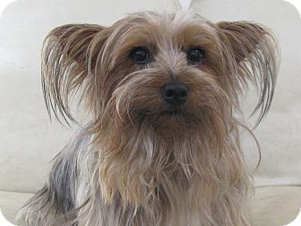 Silky Terrier Dog for adoption in Baton Rouge, Louisiana - Jackson
