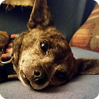 Chihuahua Mix Dog for adoption in Jerseyville, Illinois - Chloe