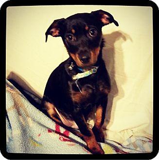 Dachshund/Miniature Pinscher Mix Puppy for adoption in Grand Bay, Alabama - Maximus