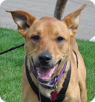 Terrier (Unknown Type, Medium)/Shepherd (Unknown Type) Mix Dog for adoption in Farmington, Minnesota - JOSIE