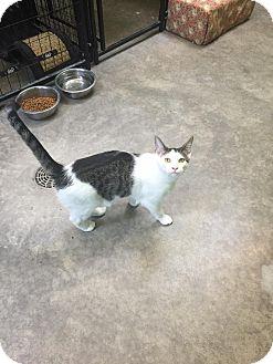Domestic Shorthair Cat for adoption in Bryan, Ohio - Petie