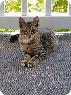 Domestic Shorthair Cat for adoption in Huntington, West Virginia - Little Bit
