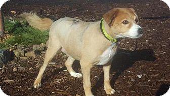 Border Collie/Australian Shepherd Mix Dog for adoption in Yreka, California - Pere