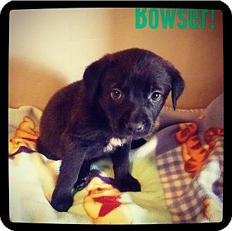 Labrador Retriever Mix Puppy for adoption in Grand Bay, Alabama - Bowser