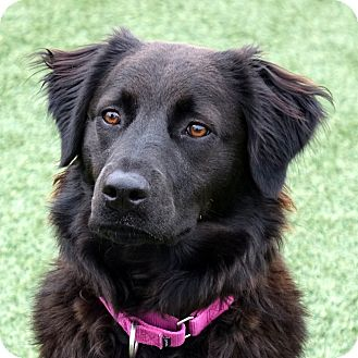 German Shepherd Dog/Border Collie Mix Dog for adoption in Columbia, Illinois - Charlotte