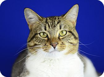 Domestic Shorthair Cat for adoption in LAFAYETTE, Louisiana - GUS