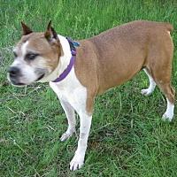 Adopt A Pet :: Laila - Huntsville, AL