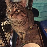 Adopt A Pet :: Cuddles - Columbia, MD