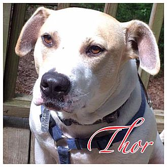 Pit Bull Terrier/Labrador Retriever Mix Dog for adoption in High Point, North Carolina - Thor