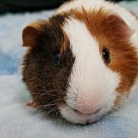 Adopt A Pet :: Abe - Harleysville, PA