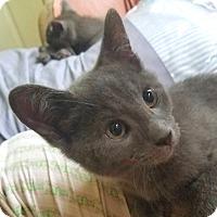 Domestic Shorthair Kitten for adoption in Smithtown, New York - Khajit