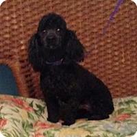 Adopt A Pet :: Pepper - Tulsa, OK