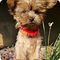 Adopt A Pet :: Lucy-ON HOLD - Bridgeton, MO