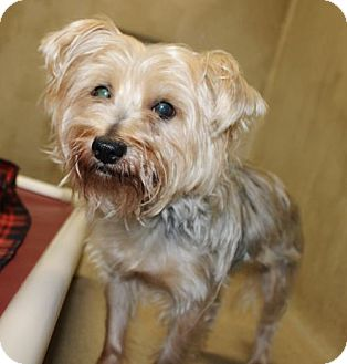 Yorkie, Yorkshire Terrier/Silky Terrier Mix Dog for adoption in Ellicott City, Maryland - 25005 - Whiskey