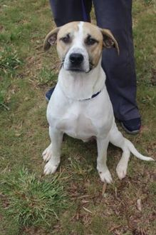 Shepherd (Unknown Type)/Hound (Unknown Type) Mix Dog for adoption in Anderson, South Carolina - Dustin
