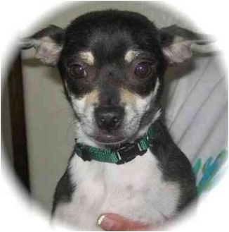 Chihuahua Mix Dog for adoption in Albuquerque, New Mexico - Liberty