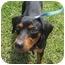 Photo 3 - Dachshund Mix Dog for adoption in Homestead, Florida - Maxamillion (MAX)
